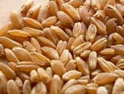 essai interlaboratoires blé, mycotoxines, alcaloides